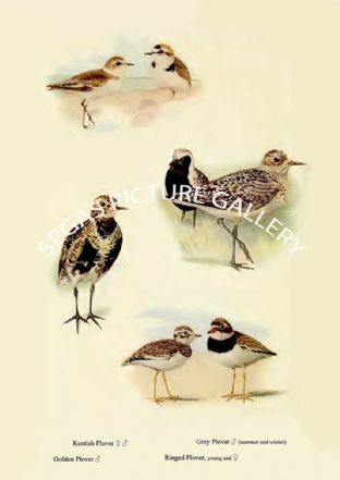 Kentish Plover, Golden Plover, Grey Plover & Ringed Plover